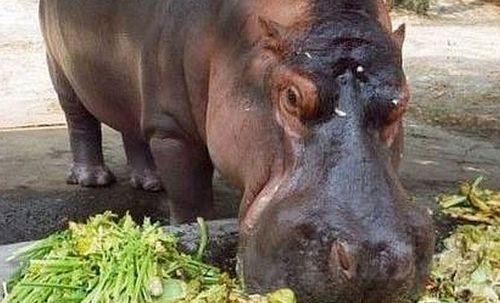 Outrage after gang beats and stabs hippo to death