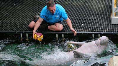 <p>Pig the dugong has selected the Cowboys to win in Sunday's grand final. </p><p>(AAP)</p>