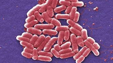 E.Coli is a common bacteria, but certain mutations can be resistant to antibiotics and potentially deadly.