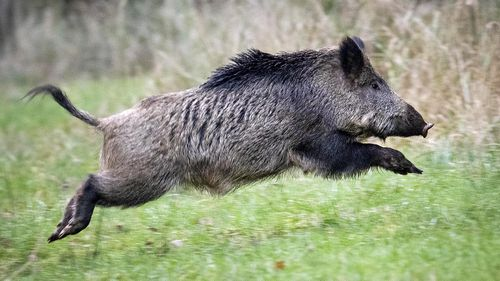 Wild boars snort £17000 of cocaine they found hidden in forest