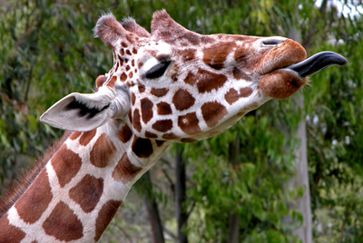Giraffes' tongues are black