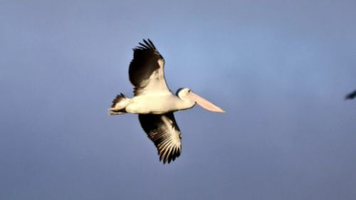 The pelican made a hasty getaway after being freed from the fence. (Paul Blake)