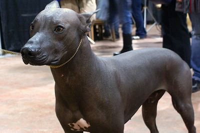 <p>Mexican hairless dog</p>