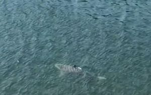 Huge shark seen lurking in the waters of Gymea Bay