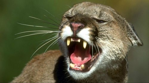 A mountain lion has been choked to death by a runner in Colorado.