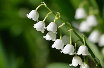 8. Lilly of the Valley