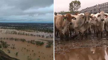 Queensland floods news weather Cloncurry cattle