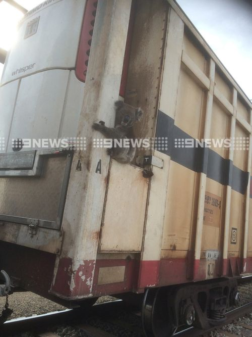 Adelaide freight train workers discover joy-riding koala