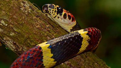 False tree coral snake