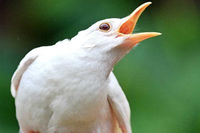 <p>Albino blackbird</p>