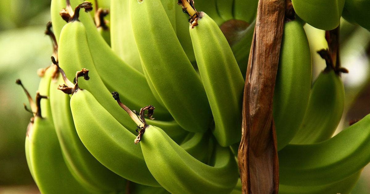 Banana prices expected to skyrocket after Tropical Cyclone Niran damage – 9News