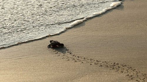 A newly-hatched olive ridley turtle heads to the water on a beach in Acapulco, Mexico.