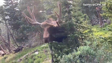 Moose charges at park-goer in Colorado