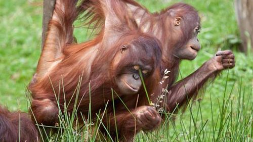 Dutch animal reserve experimenting with 'Tinder for orangutans'