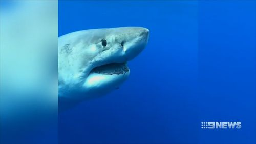 The giant great white was bigger than six metres and was very docile around the intrigued divers off the coast of Oahu.