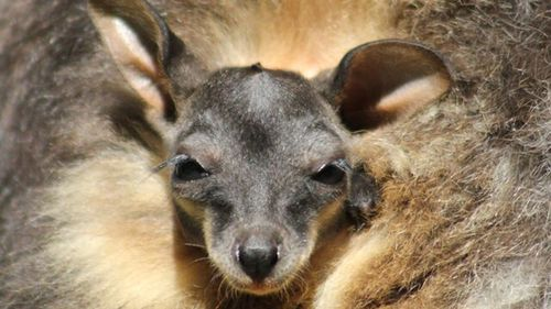 Taronga Zoo has welcomed two Brush-tailed rock wallaby joeys. (AAP)