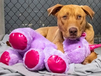 Animal services officers believe Sisu's attachment to the toy stems from a previous owner.