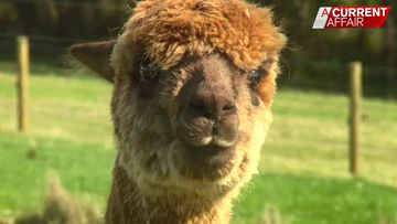 Alpacas offer hope with potential virus-busting treatment