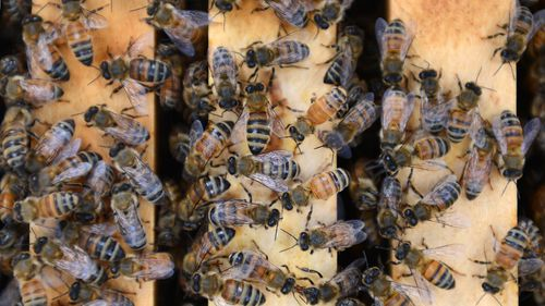 File image of bees.