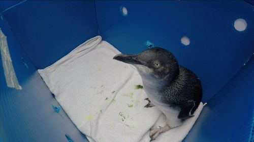 Rescued Little Penguins Margaret, Nigel, Colin, Footsie and Bondi were today released into the wild after a successful recovery. Picture: 9NEWS.