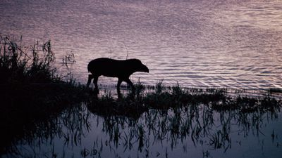 "<p>The sun sets behind a tapir on the banks of the Aquarico River in the Amazon rainforest, within Peru. </p><p>According to the World Tapir Day <a href=""http://www.tapirday.org/about-wtd.html"">website</a>, the event ""exists to raise awareness about the species of tapir that inhabit Central and South America and Southeast Asia and to raise funds to purchase land to protect it from human encroachment.""</p>"