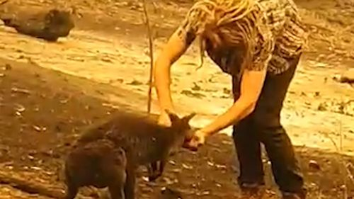 Wallabies are among millions of native animals killed or injured in the devastating Australian bushfires.