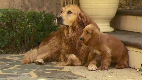 Teddy the 10-week-old spoodle with his mother. (9News)