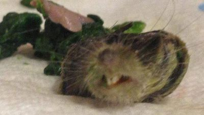 """<p>An English woman was mortified when she opened a bag of frozen spinach and was confronted with the toothy grin of a severed rat's head.</p> <p>Not expecting to find a dead rodent in her salad Terri Powers poked around with it at first.</p> <p>""""I was gobsmacked when I realised what it was - it was horrible,"""" the 33-year-old said.</p> <p>""""It was very fresh and really pink. It was a bit squashed but intact and must have been frozen soon after being severed.""""</p> <p>Ms Powers phoned supermarket Asda where she bought the spinach and was less than impressed with their reply.</p>  <p>""""The way they handled it was like it happened every day. They said sorry but it was just a 'yeah, bring it back to the store'.""""</p> <p>Asda's blasé attitude suggests that such incidents do occur almost daily as this stomach-turning glance demonstrates. </p> <p>Click through to see some of the weird things found in food over recent years.</p>"""