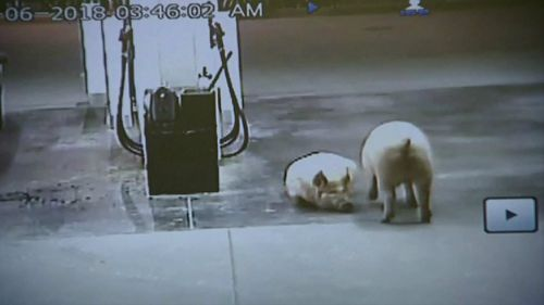 CCTV shows the pigs seemingly unperturbed as motorists come and go. Picture: Supplied