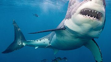 Great white shark (Getty)