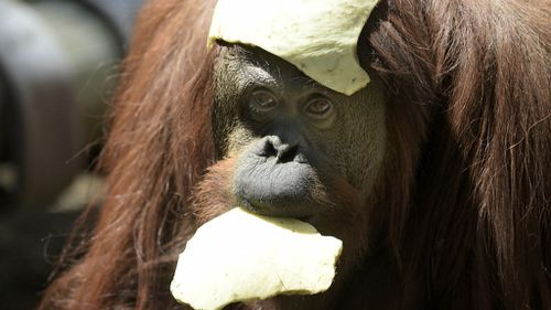 Newly released Orangutan unfazed by Argentine court victory