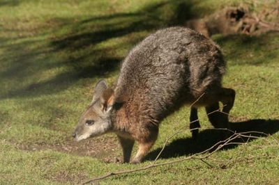 <strong>#3 Tammar wallaby</strong>