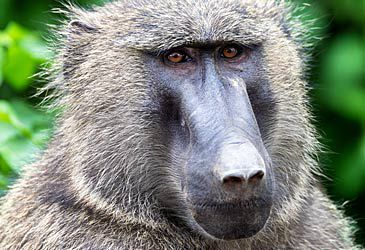 Daily Quiz: Chacma baboons are endemic to which continent?