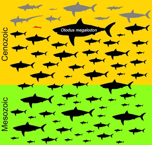 The otodus megalodon dwarfed all other sharks. A human is seen on this diagram in red.