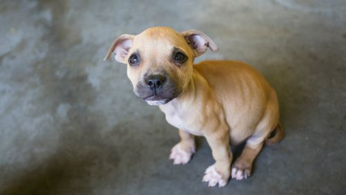 This puppy was one of several taken into care. (Image courtesy of RSPCA Queensland)