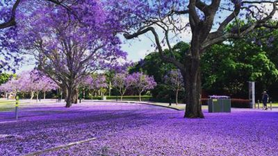 New Farm Park in Queensland under a sheet of Jacaranda petals. (Instagram: @iuandrea)