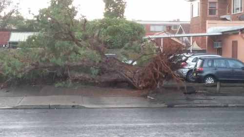 A large tree uprooted by strong winds buffeting Richmond in Sydney's west.  (Chris O'Keefe.)