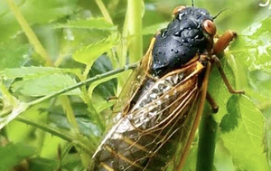 'Zombie cicadas' under the influence of a mind controlling fungus have returned to US