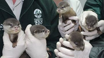 Taronga Western Plains Zoo welcomed the Oriental small-clawed otters in September. (Taronga Western Plains Zoo)