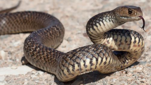 Dugite and tiger snakes are seen around the area.