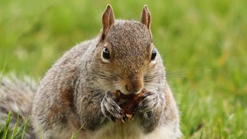 A squirrel ate the secret documents stolen by a Russian spy in the UK.