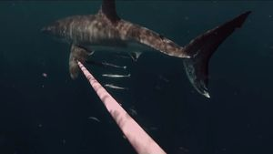 Swimmer keeps baying shark at distance with spear