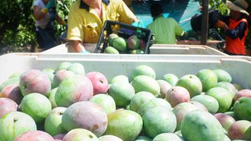 Mango harvesting in Queensland
