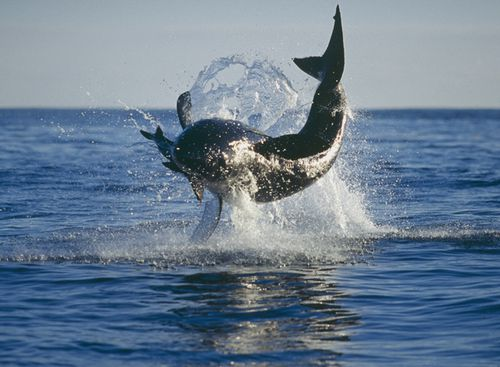 A breaching great white shark off Dyer Island located six sea miles off the coast of Gansbaai, South Africa (Getty)