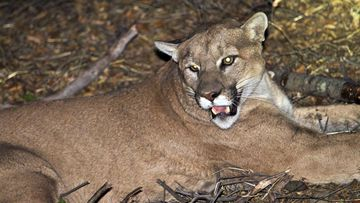 A cougar has attacked two cyclists east of Seattle killing one and injuring another (File photo: AP)