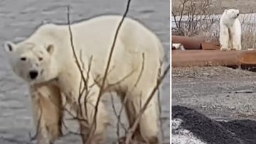 190620 Russia polar bear Norilsk climate change animals wildlife SPLIT