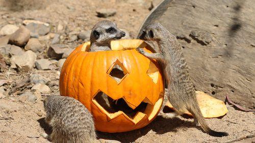 A family of meercats explores the carved pumpkin. (National Zoo & Aquarium)