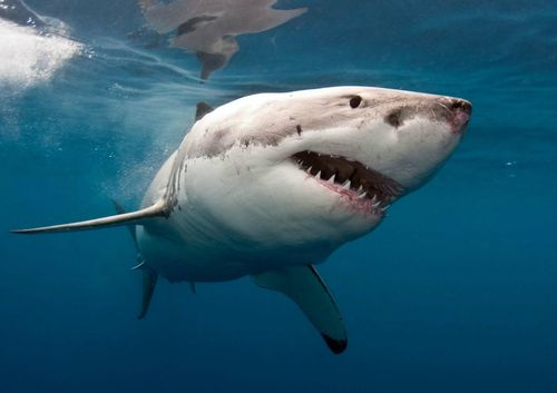 A DNA test revealed the shark that attacked him was a great white.