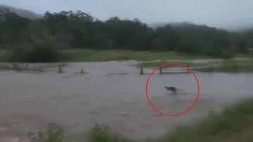 Kangaroo hops through floods, NSW