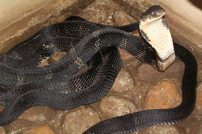 <p>King cobra</p>